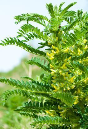 Plante Astragale : Promotions - Comprimés - Effets secondaires |  Quels sont les bienfaits ?